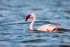 The Lesser flamingo, which is the main attraction for tourists at Lake Nakuru Royalty Free Stock Photography