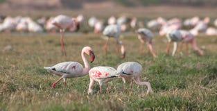 Lesser Flamingoes Stock Image