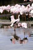 Lesser Flamingos Royalty Free Stock Image