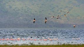 Lesser Flamingos Stock Image