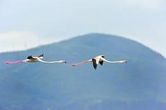 Lesser Flamingos Royaltyfri Foto