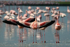 Lesser Flamingos Stock Photography