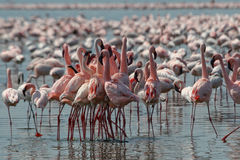 Lesser Flamingos Royalty Free Stock Photo