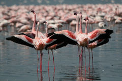 Lesser Flamingos royalty free stock image