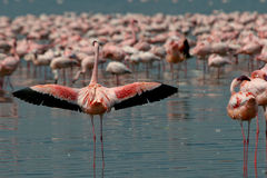 Lesser Flamingos Royalty Free Stock Photos