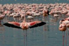 Lesser Flamingos royalty free stock photos