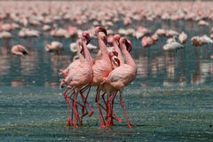 Free Lesser Flamingos Stock Photography - 3137672