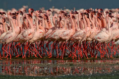 Lesser Flamingos Royalty Free Stock Photography