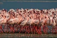 Lesser Flamingos Stock Photos
