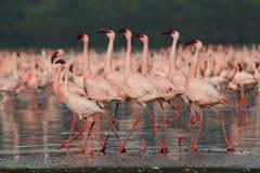 Lesser Flamingos. At Lake Nakuru National Park, Kenya Stock Images