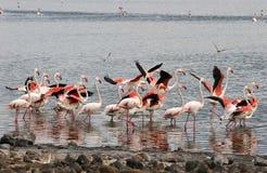 Lesser Flamingos Royalty Free Stock Photo