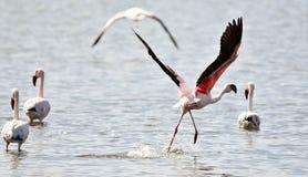 Lesser Flamingos Immagine Stock
