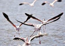 Lesser Flamingos fotografia stock libera da diritti