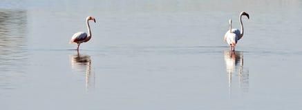 Lesser Flamingos fotografie stock