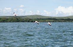 Lesser Flamingos che sorvola il lago fotografia stock