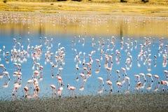 Lesser Flamingos en el lago Magadi en Kenyan Rift Valley foto de archivo libre de regalías