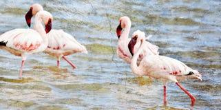 Lesser Flamingos feeding Royalty Free Stock Photos