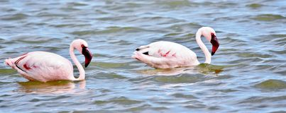 Lesser Flamingos feeding Royalty Free Stock Images