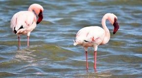 Lesser Flamingos feeding Royalty Free Stock Photography