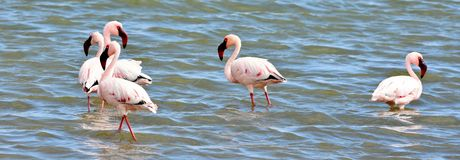 Lesser Flamingos feeding Stock Photography