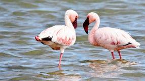 Lesser Flamingos feeding Stock Images