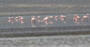 Lesser Flamingos Feeding på sjön arkivfilmer