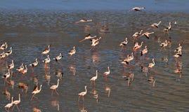 Lesser Flamingos Fenicotteri sull'acqua del lago Natron al tramonto Siluetta dell'uomo Cowering di affari fotografie stock libere da diritti