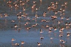 Lesser Flamingos Fenicotteri sull'acqua del lago Natron al tramonto Siluetta dell'uomo Cowering di affari immagine stock