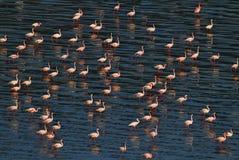 Lesser Flamingos Fenicotteri sull'acqua del lago Natron al tramonto Siluetta dell'uomo Cowering di affari fotografie stock