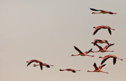Lesser Flamingos on flight Royalty Free Stock Photos