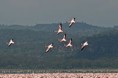 Lesser Flamingos in flight Stock Images