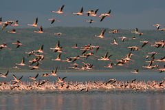 Lesser Flamingos in flight Stock Image