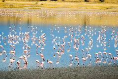 Lesser Flamingos at Lake Magadi in the Kenyan Rift Valley. Lesser Flamingos (Phoeniconaias minor) at Lake Magadi in the Kenyan Rift Valley Royalty Free Stock Photo