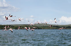 Lesser Flamingos at Lake Naivasha Royalty Free Stock Photos