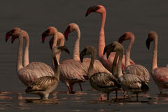 Lesser flamingos Stock Photos