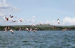 Lesser Flamingos nel lago Naivasha fotografie stock libere da diritti