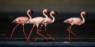 Lesser Flamingos Nome scientifico: Minore di Phoenicoparrus immagini stock libere da diritti