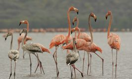 Lesser flamingos Phoenicoparrus minor bird group. Lesser flamingos Phoenicoparrus minor bird juvenile and adults on Unare lagoon Venezuela Royalty Free Stock Photos