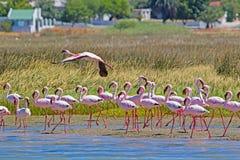 Lesser Flamingos rosa sul fiume dell'iceberg Immagini Stock