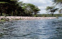 Lesser Flamingos sulla banca del lago Naivasha fotografia stock libera da diritti