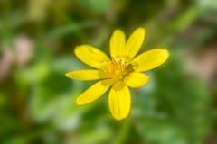 Lesser glistnika kwiat Fotografia Stock