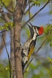 Lesser Golden-backed Woodpecker or Black-rumped Flameback Royalty Free Stock Photography