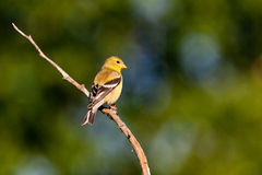 Lesser Goldfinch Stock Photos