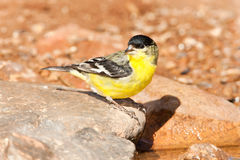 Lesser Goldfinch Stock Image