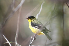 A Lesser Goldfinch Stock Photos