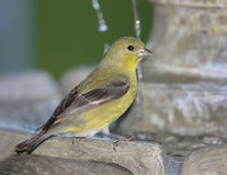 Lesser Goldfinch Royalty Free Stock Photos