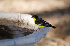Lesser Goldfinch on Birdbath (Spinus psaltria) Royalty Free Stock Photo