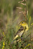 Lesser Goldfinch, Carduelis psaltria Royalty Free Stock Photos