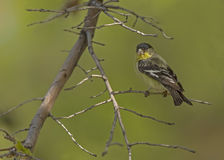 Lesser goldfinch Royalty Free Stock Image