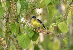 Lesser Goldfinch Royalty Free Stock Photography